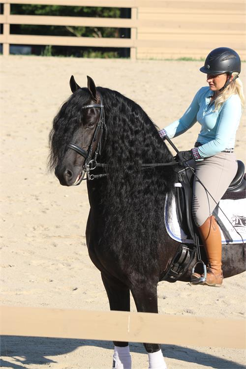 Friesian horses for sale at Friesian Marketplace