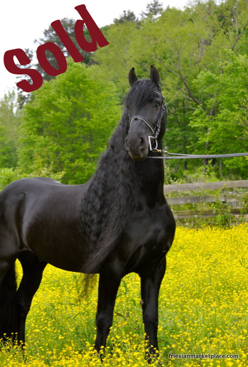 Friesian Sale